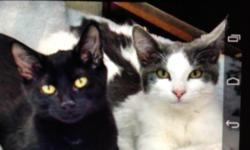 Four Beautiful loving two year old cats need of loving home. Spayed and updated shots. Colors- solid black, gray and white, two black and white