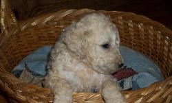 Our puppies come with first vaccination and are wormed up-to-date. Puppies dew claws were removed. Mom of pups is AKC registered. Dad is Labradoodle (his dad is AKC Lab). They are raised in our home around children and other pets. They are well
