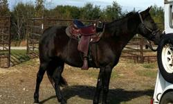 Black double registered (Tennessee Walker/Kentucky Gaited Mountain Horse) mare. 14 yrs. old, 15.1hands, well muscled. Experiencedtrail or show. Great ground and trailering manners. Location: White Oak, TX. H:
