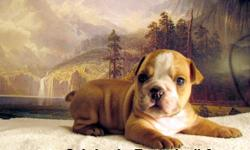 Beautiful English Bulldog Puppys For Sale $1275.00 each Now taking deposits of $ 375,00 to hold a pup for you Visit our website fancys . net to see the parents and the pups Or come by and bring the family to visit Fancys kennel and see the pups ad parents