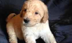 F1b Labradoodle puppies going on 5 weeks. Taking deposits now. Both parents on site. Dam is a gorgeous apricot Labradoodle (40lbs) sire is a stunning silver sable moyen Std Poodle (44lbs). Current vaccinations, wormed and a 2yr