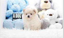 name: Venus (Teacup Pomeranian) -Female DOB: 06/01/2016 estimated size: 4-6 pounds registered, on shots and deworming please call for more info 213-999-6275 www.acepuppy.com Shipping Available anywhere within the States!