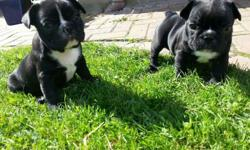 These French Bulldogs puppies have excellent temperaments and great conformation. For more info's and photos send me an email or text @(218) 203-3224