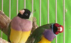 Beautiful Lady Gouldians. - m/f  wonderful pets - sweet singing - NEVER LOUD AND CRAZY- $ 65. each or $120. pair. We need to downsize on pets. please text during working hours, or call after four pm. 31seven  48 zero nine five 33 thank you