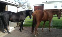 2 Beautiful Horses for sale. This is going to be hard for me but they are gentleness and loving horses. Katie is a 18 year old purebred thoroughbred and Peppy is a 14 year old black purebred paint. They are great riding horses and very smart! Selling the