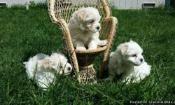 Gorgeous Lhasa apso/maltese puppies are getting ready to go to new homes. 1 girl and one boy born on March 10th. Mom is a 6-pound Lhasa apso, dad is a 5-pound maltese. Both puppies have a slightly cream color to their fur. They will come
