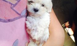 I have beautiful maltipoo puppies. Males and Females available. puppies are 8 weeks old and are In perfect health. they have seen the vet twice and have their first set of shots and have been dewormed. shot record will be provided. full grown they'll be