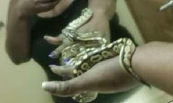 Beautiful ball baby Python needs a good home...Serious buyers only