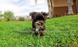 Say hello to ?Scotty-Pippen?, our tiny and adorable male Morkie Hybrid Puppy available in San Diego. He is current on his vaccines and comes with a One Year Congenital Health Guarantee. Scottie-Pippen will be 4-5 lbs Full Grown. He is currently 9 weeks