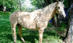 Rowdy is a AQHA Gelding, 16 hands and broke to ride, but needs finished out, he is a sweet horse that does not bite, rear or buck. Good for vet, farrier but hard to load. Been on trail rides and did well. He has small feet and a baby doll