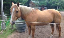 A beautiful registered Palamino gelding, 17years old & 15.3 hands tall. Easy keeper - good for vet & ferrier and very steady on trails. Great overall horse - asking $1,200. Also a very nice Morgan-Arabian gelding, 18years