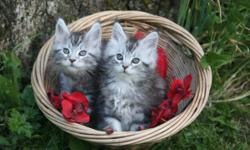 We have pedigreed beautiful Maine Coon Kittens for sale. Please visit www.coonkingdom.com Lots of pictures available. Enjoy:) Email us at coonkingdom@hotmail.com we can arrange a visit to personally see the kitten(s).