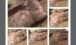 Beautiful Blue Cream Female Persian Kitten 2mos priced @ $250 if interested pls call or text to 619 734 7773