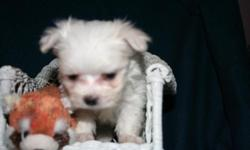 I have 4 beautiful maltese puppies for sale.. 2 boys and 2 girls... They have upto date shots and dewormer.. They also have thier papers... They are healthy, playful, and loving puppies... They are currently 9 weeks old... loving dogs. If intrested text