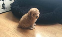 Beautiful Boy toy poodle for sale looking for a loving home He was born on May 8th 2016 tail was docked, he's  light golden brown, he has gotten his first sets of shots with records. He's playful, cute and loving. I have both parents