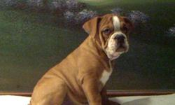 Beautiful English bulldog puppy's for sale. for more information call 706-264-6304 or email gds2000_us@yahoo.com