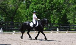 Beautiful, Dutch, Friesian gelding. Professional dressage training. Confirmed 2nd level dressage and working 3rd level movements. Wonderful temperament, loving, kind, very intelligent. Loads, trailers, clips and very farrier friendly. No vices. Healthy,