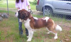 Quality litter of Saint Bernards, by a Saint Bernard Club of America member, with the betterment of the breed at heart. Our Saints are bred with an emphasis on soft temperaments, soundness, health and beauty. We put much effort into the study of the