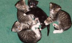 Beautiful Scottish Fold kittens were born on March 4th. They will be ready for their forever homes at 10 weeks. You are welcome to come, play with them early and pick out the one you want.