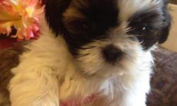 Beautiful Female &Male Shih Tzu puppies. They are 7 Weeks Old Current On Shots and de-wormed & UKC Registered . Vet Cheched out. Mom & Dad on premise, Under 10 pounds , Raised at Home with a lot of Attention .........$599.00.....fhone