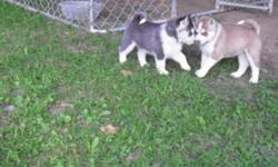 I have two black and white puppies, two sable and white, one grey, white and sable puppy and one white with a slight bit of sable. All the puppies have blue eyes. These puppies havebeen raised with a family and they are loving and