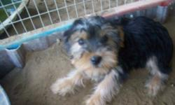 Beautiful female yorkie chi (3/4 yorkie and 1/4 chihuahua) Registered name is yorkie chi. Black and gold.Will weigh about 5 to 6 lbs grown. Parents on site. Has had 6 week shot and is UID on wormings.
