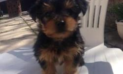Lovely litter of registered Yorkshire terrier puppies ready for their new families now at 10weeks old. They are wormed , treated against all parasites and microchipped. They are really lovely and are here to meet with their mum. Yorkshire terriers are