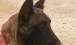 5 month old Malinois pups, 2 males. From working Ot Vitosha/Slovakian bloodlines. Tight bred, parents on the premises. Have had 3 distemper/parvo vaccinations. In excellent health.