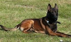 AKC Belgian Malinois Puppies for Sale, Sire is KNPV PH1 Sire Boris, Dam is Houston. She is very Hard, intense , drivy, her pedigree is 100% Perle De Tourbiere on the top and bottom. She is also large, social and confident. These puppies