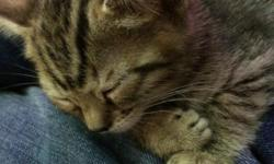 Bengal Kitten for sale! My kittens for sale are registered, raised under foot and in my home!!! Both parents on site at my small in-home cattery. My cats & kittens are never caged, they are healthy, come vaccines appropriately for their age at the time of