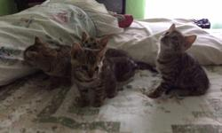 BENGAL KITTENS 7WKS READY FOR GOOD HOMES MOTHER AND FATHER ARE WITH ME LITTER TRAIN PLAYFUL AND VET CHECK