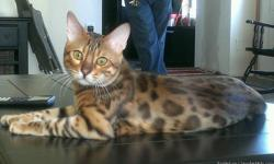 At Exotic Legends we breed and have Bengal kittens available all year long. They come from the top champion lines in the country combining the best qualities of our beloved bengal; great health, fun and friendly character, beautiful wild look and
