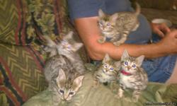 TICA REGISTERED BENGAL KITTENS FOR SALE - SPAY AND NEUTER CONTRACT-COME WITH TWO VACCINATIONS,DEWORMED AND HEALTH CHECK. KITTENS ARE FROM CHAMPIONSHIP LINES. I HAVE ONE BROWN SPOTTED FEMALE ONE SILVER SEAL MINK FEMALE ONE SILVER SEAL MINK MALE ONE MINK