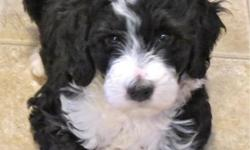 """""""Uno"""" is a very healthy, friendly, Bernerdoodle female pup. As an adult, she may top 50 pounds. She is very sweet and well-socialized with children and other dogs. Hips are guaranteed to be great, and her lineage has no known genetic problems, on either"""