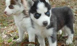 Blue Eyes Siberian Husky puppies available, We got two Siberian husky puppies. 11 weeks old. They male is black and white while the female is brown and white. Home raised and already house broken. They have health certificate and first vaccinations.