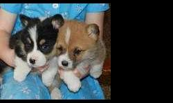 Welsh Corgi (Pembroke) Puppies for Sale - Beautiful, lovable, and affectionate with nice markings! Very friendly and make great family pets. Should stay around 18-22 lbs full grown. ,. Text Only Via (530) 522-8115