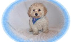 """This baby boy is a gem. He has been raised with children and has a wonderful personality. He is a Bichon and a Poodle mix-""""Bichpoo"""". He is ready for a new forever family.He is micro chipped. He is hypo allergenic and has a nice non shedding hair coat.He"""