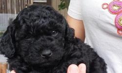 We have fluffy, cute, loveable puppies for sale. 3 females and 2 males, they will be 8 weeks on june 14 and ready for a new loving home. Puppies are in excelent health. They have dew claws removed, non-shedding, hypoallergenic, and very well