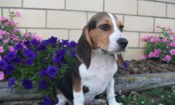 Hey, I'm Bingo! The amazing Male AKC Beagle! They got my name from a certain song! I don't remember how it went but it involves Bingo was his name-o! I was born on April 14, 2016 from AKC medium sized parents.! They're asking $425.00 for me. I'll come