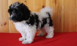 Hallo! I'm Bingo, the delightful salt and pepper AKC Havanese. I've always wanted to have that special person who love me for the rest of my life and never let me go! I was born on May 25, 2016 and they are asking $725.00 for me! I will come