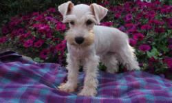 Hi, I'm Bingo! The sweetest male AKC Miniature Schnauzer! You just can't resist me! I was born on May 5th, 2016. Always love to hear about my soft fur, and how amazing I am! They're asking $950.00 for me! I'll come with my shots and worming to
