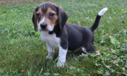 Yo! I amBingo, the sweet little male Beagle.I was bornon June 9, 2016.They are asking $325.00 for me. My mom weighs 20 lbs and my day weighs 20 lbs.Iwill come with myshots andworming to date.Have you