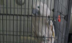 WE HAVE A UMBRELL COCKATOO THAT WE LOVE WITH ALL OF OUR HEAT BUT WE NEED TO SALE HIM BECAUSE HE IS STARTING TO BIT US.