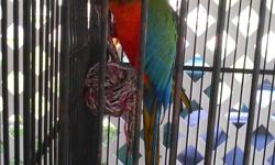 """1 Harlequin Macaw. Very colorful. Just starting to talk. Hand fed. Approx. 28"""" length. With Large wrought iron cage. Total package retails for 2500.00. Asking price is $500.00. Also have Greenwing Military Macaw. Large Vocabulary."""