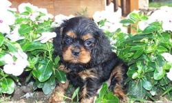 1 Male Black and Tan Cavalier King Charles born on 6-1-11. UTD on shots and comes with a health warranty. *?* Credit Cards Accepted (Visa/MasterCard?????) ** Financing Available (Please Inquire) ** Shipping Available ** Microchipped??? ? ** UBAR