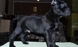 Black Male Cane Corso puppy available 10 weeks old old healthy,solid and thick bones going to make a great bodyguard,and guardian of the family and empire he is already alert and has great guardian instincts but is also very sweet and loving with a great