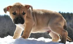 This puppy is located at my nephew's house in Fairfield, Maine Black Mouth Cur Pup He is the Last of the litter He is very thick and very healthy, super playful & active little guy. Vaccines and dewormer has already been started. The Black Mouth Cur Makes