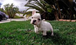 Say hello to this cutie, ?Kate-Spade?. Kate-Spade is our gorgeous female Black & White Frenchie puppy available in San Diego. She is from Hungarian imported lines.  -10 weeks old - Adult weight: 20-23 lb. - Checked by a Licensed Vet - Clean