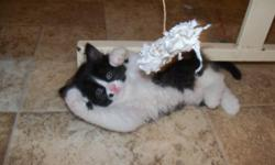 NY Cats Cattery of Brooklyn New York and Stroudsburg Pennsylvania has one Black and White CFA registered Male Persian Teacup kitten with Champion bloodlines for sale for $600. The kittens are raised between kids, a dog and other cats, so they are very