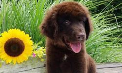 Hi there! I'm Blake, the charming male Newfoundland AKC!  I was born on May 17, 2016 and I am family raised. I'll come home with shots and worming to date.I get a long well with children and other pets. They're asking $950.00 for